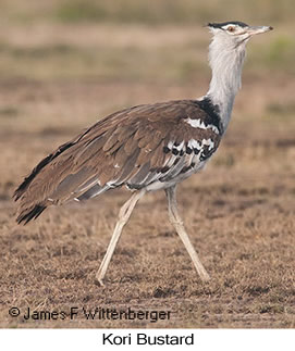 Kori Bustard - © James F Wittenberger and Exotic Birding LLC