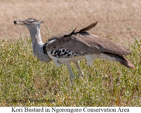Kori Bustard - © The Photographer and Exotic Birding LLC