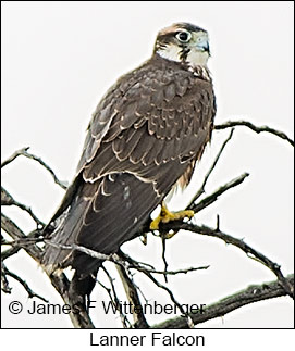 Lanner Falcon - © James F Wittenberger and Exotic Birding LLC
