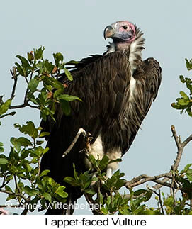 Lappet-faced Vulture - © James F Wittenberger and Exotic Birding tours