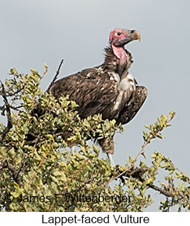 Lappet-faced Vulture - © James F Wittenberger and Exotic Birding LLC