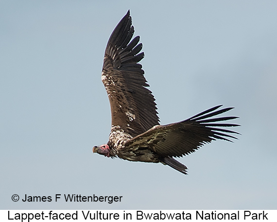 Lappet-faced Vulture - © The Photographer and Exotic Birding LLC