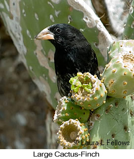 Large Cactus-Finch - © Laura L Fellows and Exotic Birding Tours