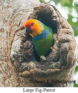 Large Fig-Parrot - © James F Wittenberger and Exotic Birding Tours