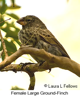 Large Ground-Finch - © Laura L Fellows and Exotic Birding LLC