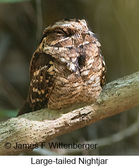 Large-tailed Nightjar - © James F Wittenberger and Exotic Birding Tours