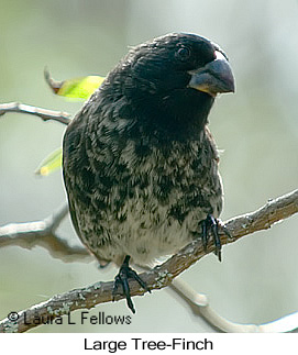 Large Tree-Finch - © Laura L Fellows and Exotic Birding Tours