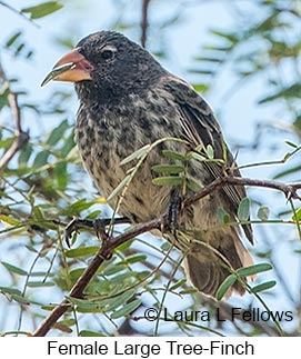 Large Tree-Finch - © Laura L Fellows and Exotic Birding LLC