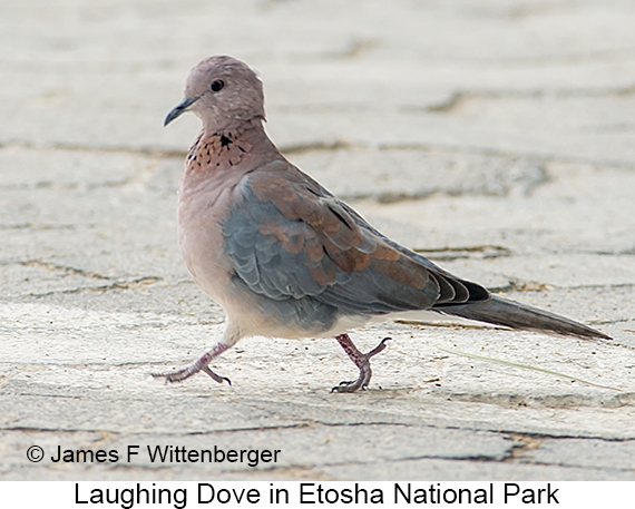 Laughing Dove - © The Photographer and Exotic Birding LLC