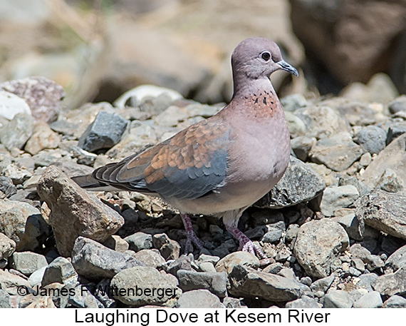 Laughing Dove - © James F Wittenberger and Exotic Birding LLC
