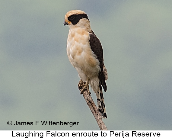 Laughing Falcon - © James F Wittenberger and Exotic Birding LLC