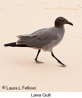 Lava Gull - © Laura L Fellows and Exotic Birding Tours