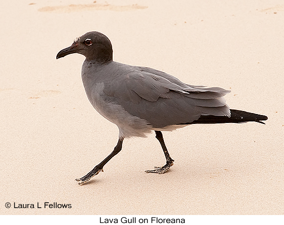 Lava Gull - © Laura L Fellows and Exotic Birding LLC
