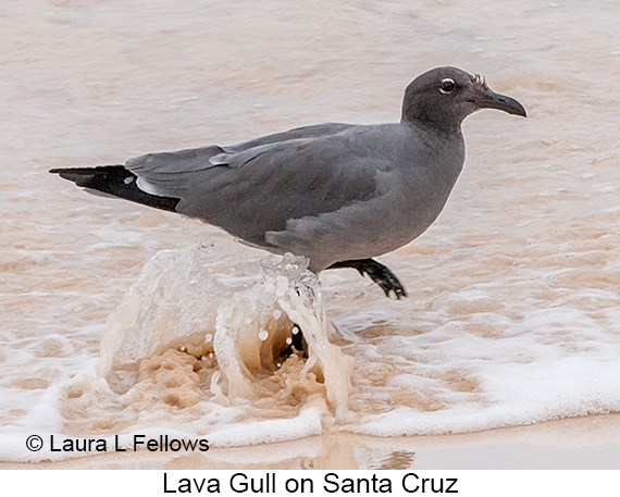 Lava Gull - © The Photographer and Exotic Birding LLC