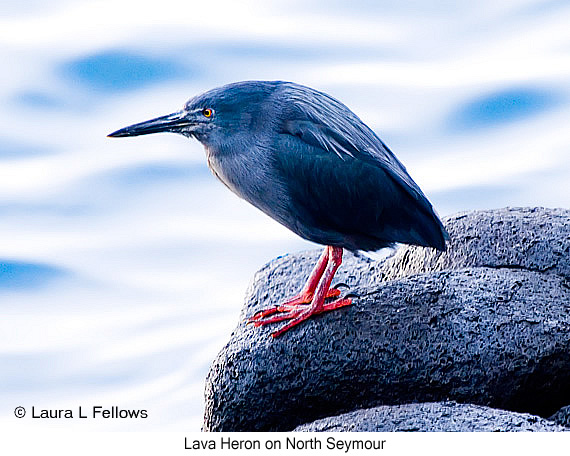 Lava Heron - © Laura L Fellows and Exotic Birding LLC