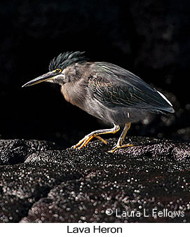 Lava Heron - © Laura L Fellows and Exotic Birding Tours