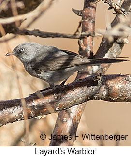 Layard's Warbler - © James F Wittenberger and Exotic Birding LLC