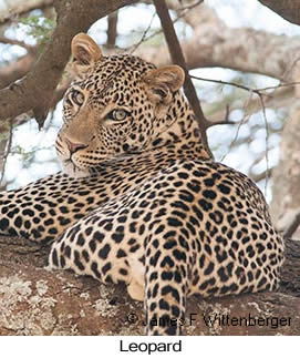 Leopard - © Laura L Fellows and Exotic Birding Tours