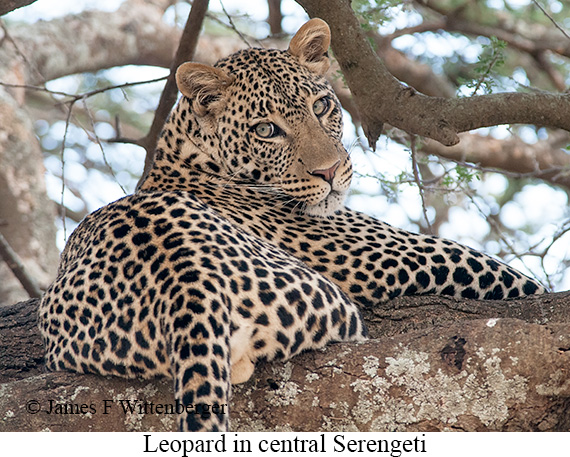 Leopard - © James F Wittenberger and Exotic Birding Tours