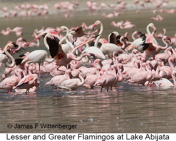 Lesser-and-greater Flamingos - © The Photographer and Exotic Birding LLC