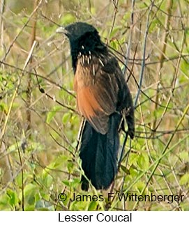 Lesser Coucal - © James F Wittenberger and Exotic Birding Tours