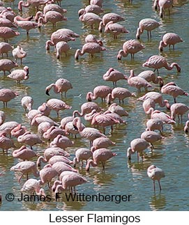 Lesser Flamingo - © James F Wittenberger and Exotic Birding LLC