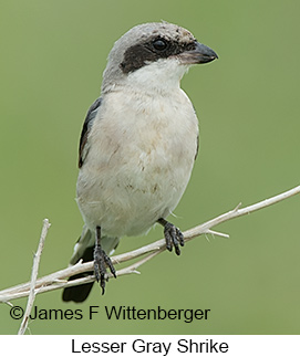 Lesser Gray Shrike - © James F Wittenberger and Exotic Birding LLC