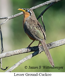 Lesser Ground-Cuckoo - © James F Wittenberger and Exotic Birding LLC