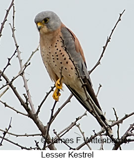 Lesser Kestrel - © James F Wittenberger and Exotic Birding LLC