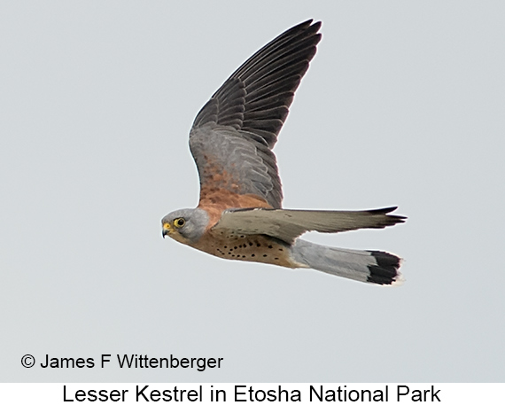 Lesser Kestrel - © Laura L Fellows and Exotic Birding Tours
