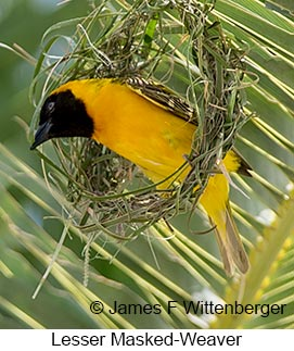 Lesser Masked-Weaver - © James F Wittenberger and Exotic Birding LLC