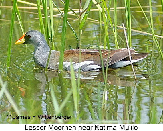 Lesser Moorhen - © Laura L Fellows and Exotic Birding Tours