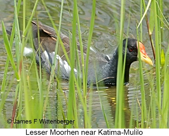 Lesser Moorhen - © The Photographer and Exotic Birding LLC