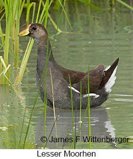 Lesser Moorhen - © James F Wittenberger and Exotic Birding LLC