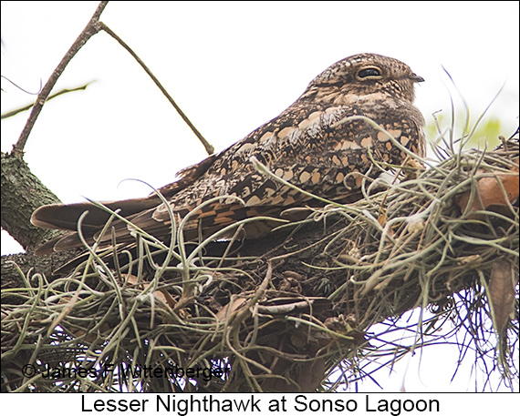 Lesser Nighthawk - © James F Wittenberger and Exotic Birding LLC