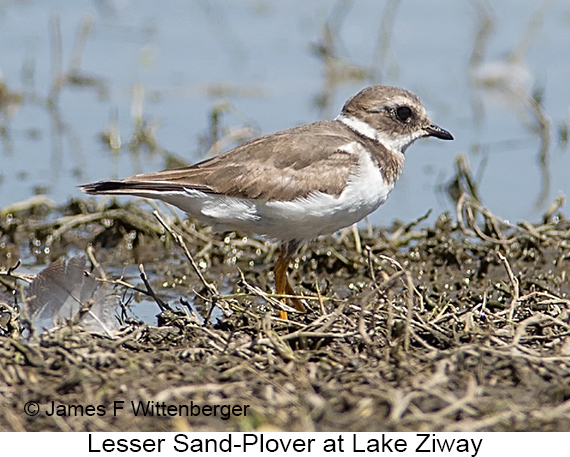 Lesser Sand-Plover - © James F Wittenberger and Exotic Birding LLC