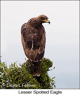 Lesser Spotted Eagle - © Laura L Fellows and Exotic Birding Tours