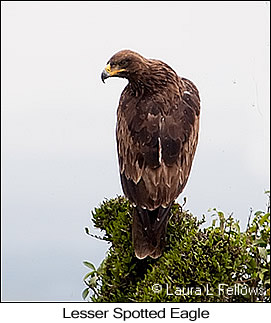 Lesser Spotted Eagle - © Laura L Fellows and Exotic Birding LLC