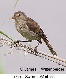 Lesser Swamp Warbler - © James F Wittenberger and Exotic Birding LLC