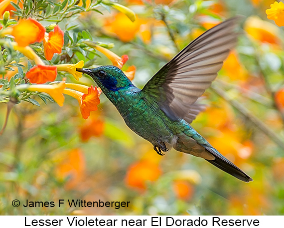 Lesser Violetear - © James F Wittenberger and Exotic Birding LLC