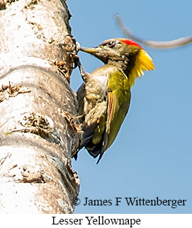 Lesser Yellownape - © James F Wittenberger and Exotic Birding Tours