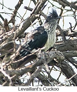 Levaillant's Cuckoo - © James F Wittenberger and Exotic Birding LLC
