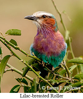 Lilac-breasted Roller - © Laura L Fellows and Exotic Birding Tours