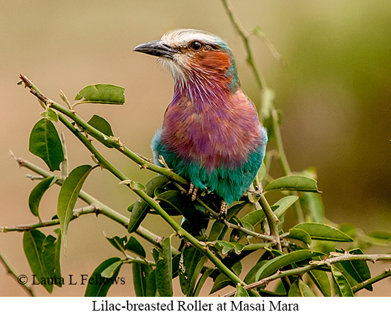 Lilac-breasted Roller - © Laura L Fellows and Exotic Birding LLC