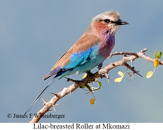 Lilac-breasted Roller - © James F Wittenberger and Exotic Birding LLC