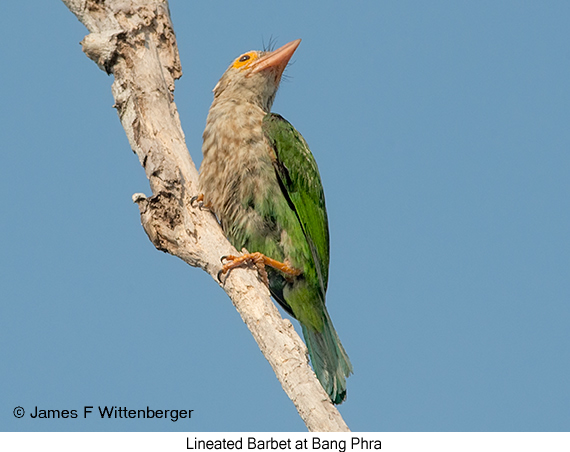 Lineated Barbet - © James F Wittenberger and Exotic Birding Tours