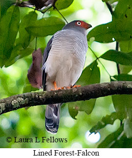 Lined Forest-Falcon - © Laura L Fellows and Exotic Birding Tours