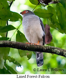 Lined Forest-Falcon - © Laura L Fellows and Exotic Birding LLC