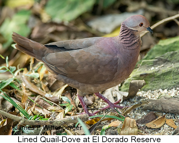 Lined Quail-Dove - © The Photographer and Exotic Birding LLC