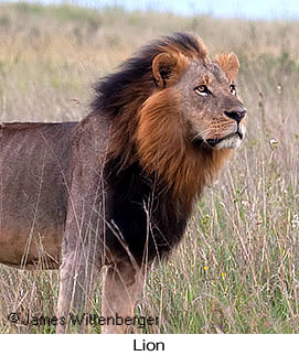 Lion - © James F Wittenberger and Exotic Birding Tours
